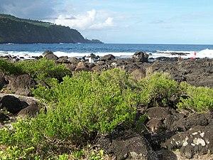 Pemphis - Pemphis acidula, in its shortest form, on the coast of Réunion Island