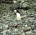 Penguins -near Weddell Sea, Antarctica -two species-8.jpg