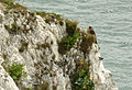 Peregrine on White Cliffs, Dover.jpg