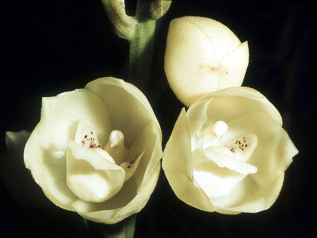 Peristeria elata - Wikipedia, la enciclopedia libre
