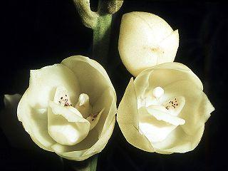 <i>Peristeria elata</i> species of plant