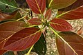 Persea americana new foliage 3.JPG