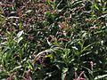 Persicaria hydropiper20140712 079.jpg