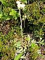 Pflanze Liuthalas 020709-1.JPG