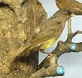 Phainoptila melanoxantha Museum de Genève.JPG