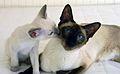 PhaithaiDafne Siamese cat.jpg