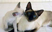 Siamese Gatto Wikipedia