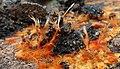Phanerochaete chrysorhiza 862996.jpg
