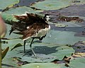 Pheasant-tailed Jacana (Hydrophasianus chirurgus)- Breeding- shaking off after bath in an Indian Lotus (Nelumbo nucifera) Pond in Hyderabad, AP W IMG 7871.jpg