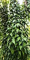 Philodendron hederaceum var kirkbridei – Climbing habitus..jpg