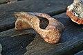 Phosphatières du Cloup d'Aural - 20140925 - Phosphate 3.jpg