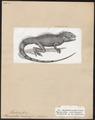 Physignathus concinnus - 1700-1880 - Print - Iconographia Zoologica - Special Collections University of Amsterdam - UBA01 IZ12700055.tif