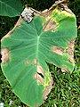 Phytophthora leaf blight of taro (Colocasia esculenta) (14626790039).jpg