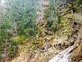 Picea abies - Transylvania - 2.jpg