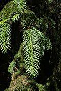Picea koyamae shoot.JPG