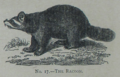 Picture Natural History - No 17 - The Racoon.png