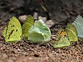 Pieridae puddling from Savandurga IMG 9845.jpg