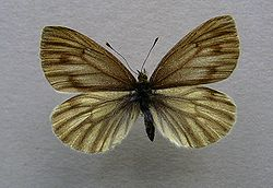 Pieris bryoniae.female.jpg