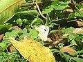 Pieris canidia (41007939941).jpg