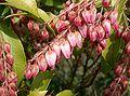 Pieris japonica8.jpg