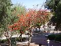 PikiWiki Israel 19288 Erythrina Tree.JPG