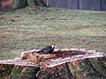 Pileated woodpecker P1300016.jpg
