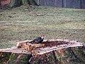 Pileated woodpecker P1300016.jpg
