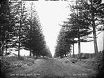 Pine Avenue, Norfolk Island (3927692075).jpg