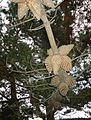 Pine Cones Half-Moon-Bay California near beach.jpg