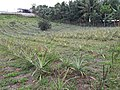 Pineapple Plantation.jpg