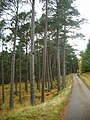 Pines by the Fannich track - geograph.org.uk - 273799.jpg