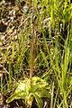 Pinguicula vulgaris - Vitranc 5.jpg