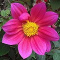 Pink Daisy Flower.jpg