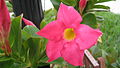 Pink Pretty (2300659807).jpg
