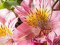 Pink flower (14190423290).jpg