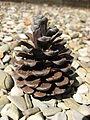 Pinus brutia cone 01 by Line1.jpg