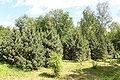 Pinus cembra Rogów 3.JPG