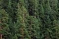 Pinus sylvestris - Sarıçam 04.JPG