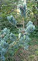 Pinus wangii subsp kwangtungensis kz1.jpg