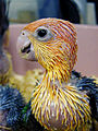 Pionites leucogaster -chick -feather-8a.jpg