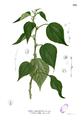 Pipturus arborescens Blanco2.371.png