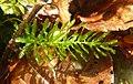 Plagiomnium undulatum 060108.jpg