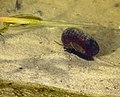 Planorbarius corneus Pukhivka.jpg