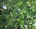 Plantaginaceae (veronica).jpg