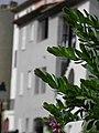 Plante (Polygala).jpg
