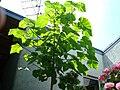 Plante inconnue a croissance rapide Juillet 09.jpeg