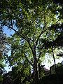 Platane naturdenkmal 418 3.JPG