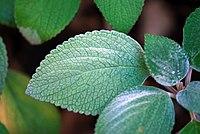 Plectranthus argentatus 01 Pengo.jpg