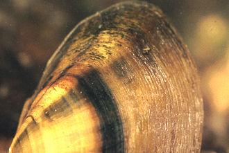 Pleurobema - A close-up of Pleurobema decisum