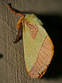 Plum Slug Moth (Latoia latistriga) (16732913709).jpg